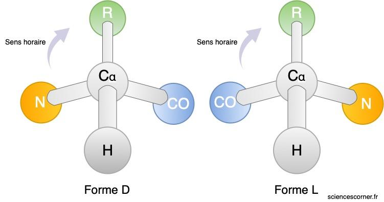 Représentation de la forme L et de la forme D d'un acide aminé.